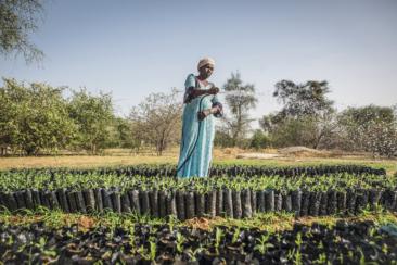 Lutte contre le rechauffement climatique et la desertification. La grande muraille verte, operation de reboisement au Sahel