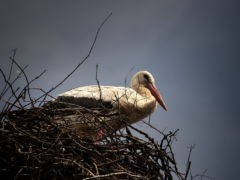 white stork on nest during daytime