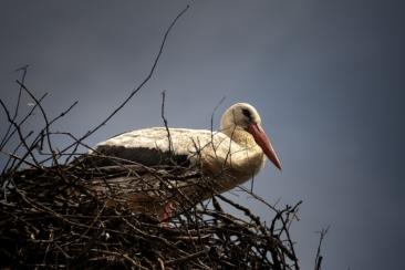 white stork on nest during daytime