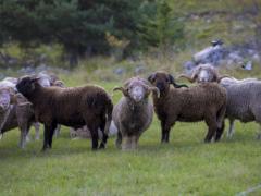 Moutons-Hautes-Alpes
