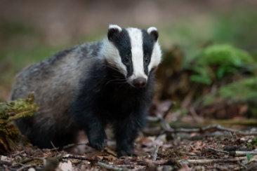 black and white badger photo
