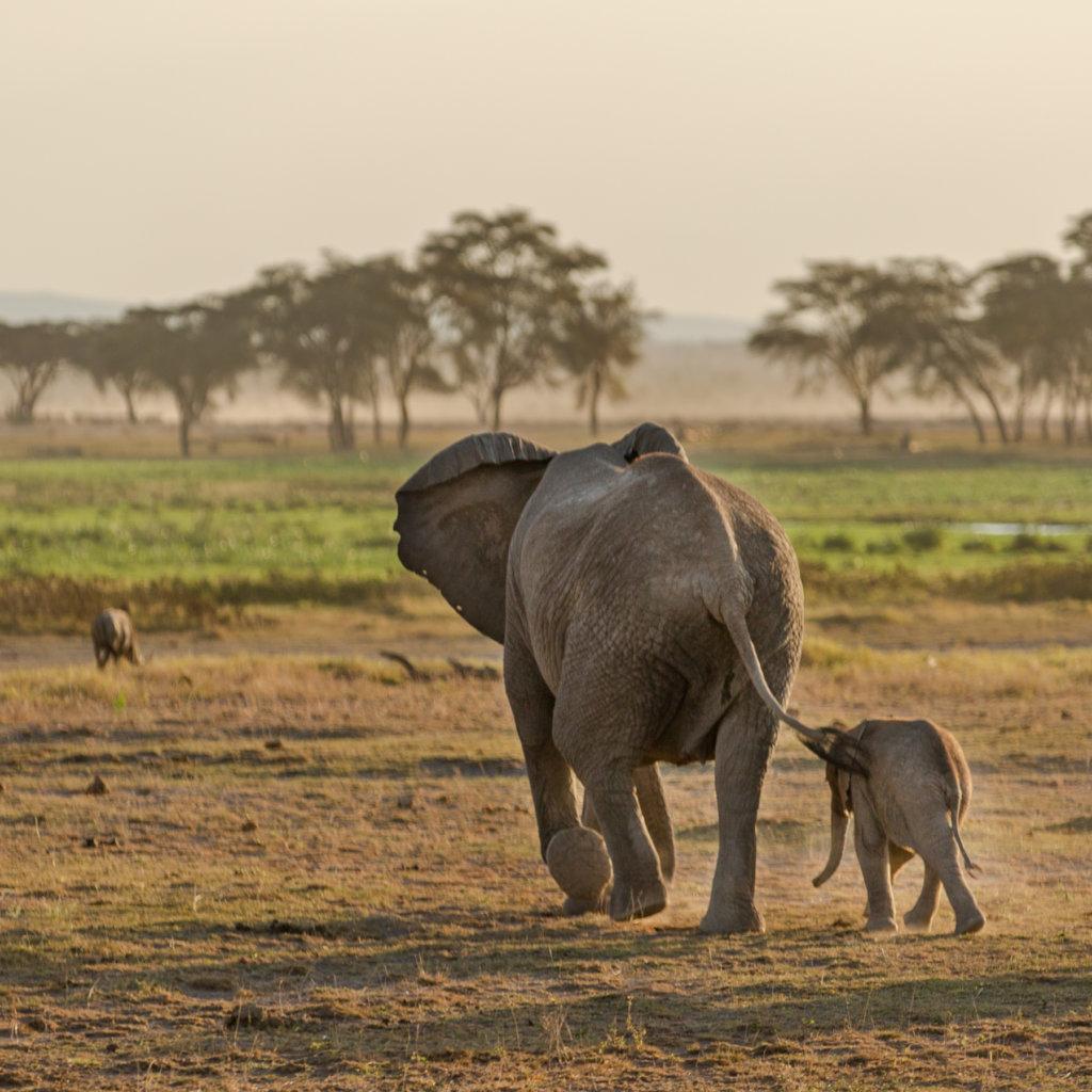 two gray elephants walking on open field